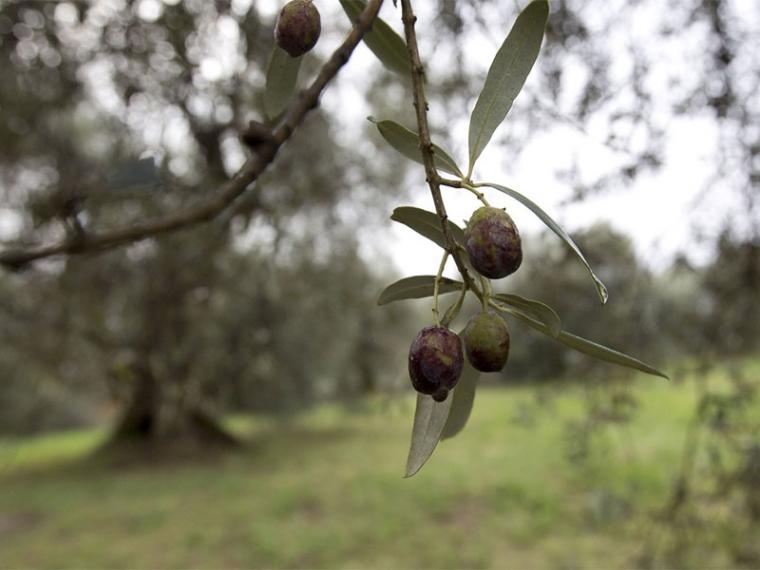 Για την καταστροφή από το δάκο φταίει η Περιφέρεια υποστηρίζει ο ΣΥΡΙΖΑ Μεσσηνίας