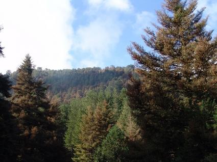 Σε όλο το δάσος της Βασιλικής το έντομο που ξεραίνει τα έλατα!